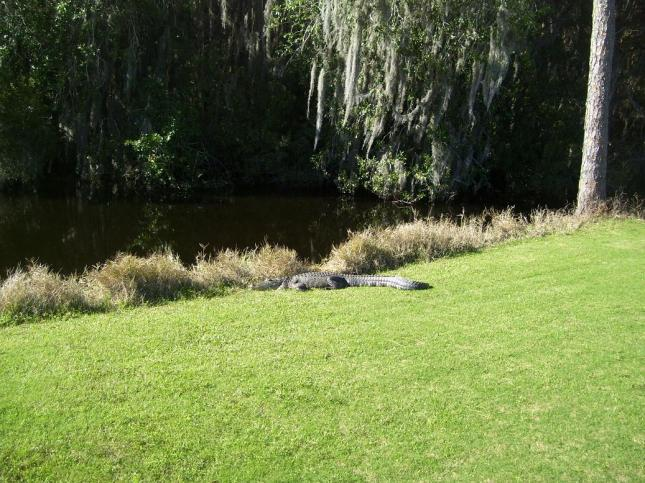 alligator-golf-002.jpg